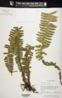 Image of Asplenium borneense