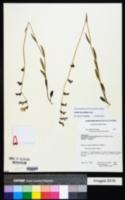 Lobelia flaccidifolia image