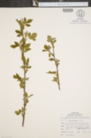 Image of Rubus fecundus