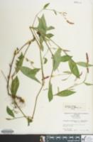 Image of Polygonum caespitosum
