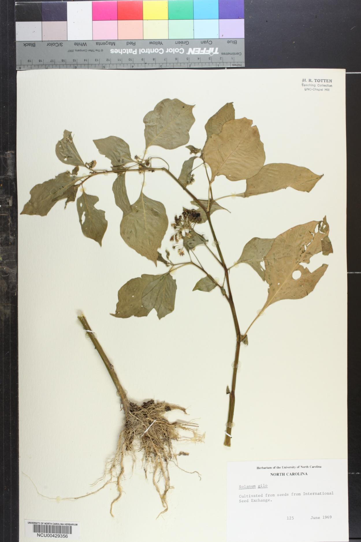 Solanum gilo image