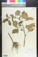 Image of Solanum gilo