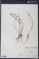 Hypericum dissimulatum image