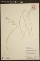 Bartonia paniculata subsp. paniculata image