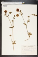 Image of Potentilla atrosanguinea
