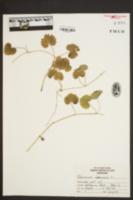 Glechoma hederacea image