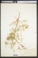 Image of Dalea carthagenensis