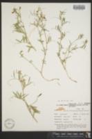 Image of Lathyrus hitchcockianus
