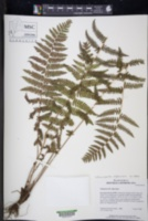 Amauropelta oligocarpa image