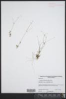 Hedyotis canadensis image