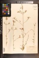 Image of Gaura longiflora