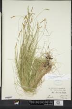 Carex bromoides image