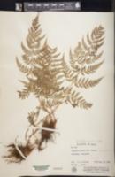 Dryopteris rossii image