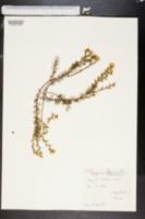 Image of Genista hispanica