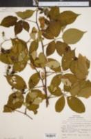 Image of Rubus philadelphicus