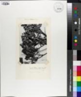 Quercus intricata image