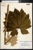 Image of Tetrapanax papyriferus