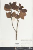 Image of Altingia chinensis