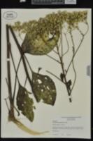 Arnoglossum plantagineum image