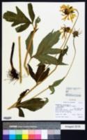 Rudbeckia laciniata var. ampla image