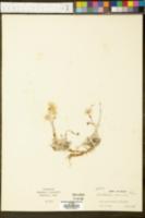 Image of Antennaria concolor