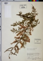 Mimosa dysocarpa image