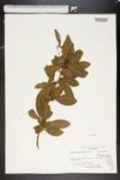 Bumelia reclinata image