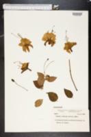 Image of Fuchsia hybrida