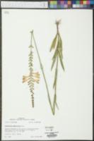 Physostegia angustifolia image