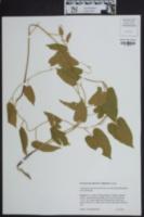 Image of Calystegia catesbiana