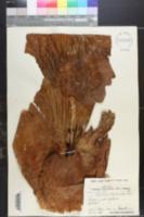 Image of Platycerium stemaria