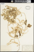 Image of Anredera scandens
