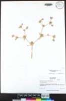 Eryngium aristulatum image