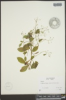 Samolus parviflorus image
