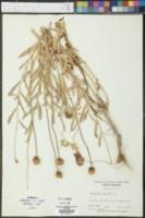 Image of Asperula pulchella