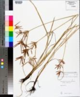 Cyperus longus image