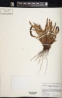 Polystichum mohrioides image