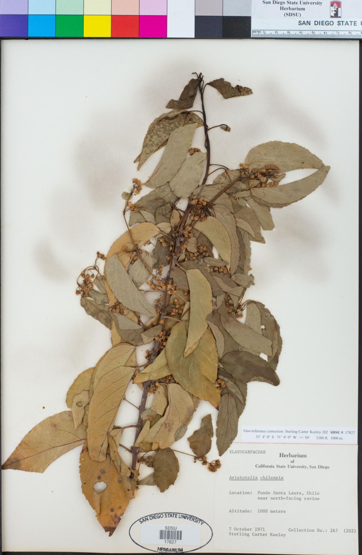 Aristotelia chilensis image