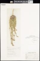 Image of Verbena neomexicana