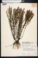 Image of Stachydeoma graveolens