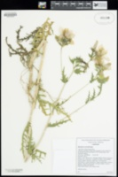 Image of Mentzelia crocea