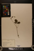 Image of Waldsteinia parviflora