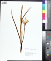 Image of Zephyranthes atamasca