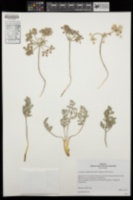 Image of Lomatium mohavense