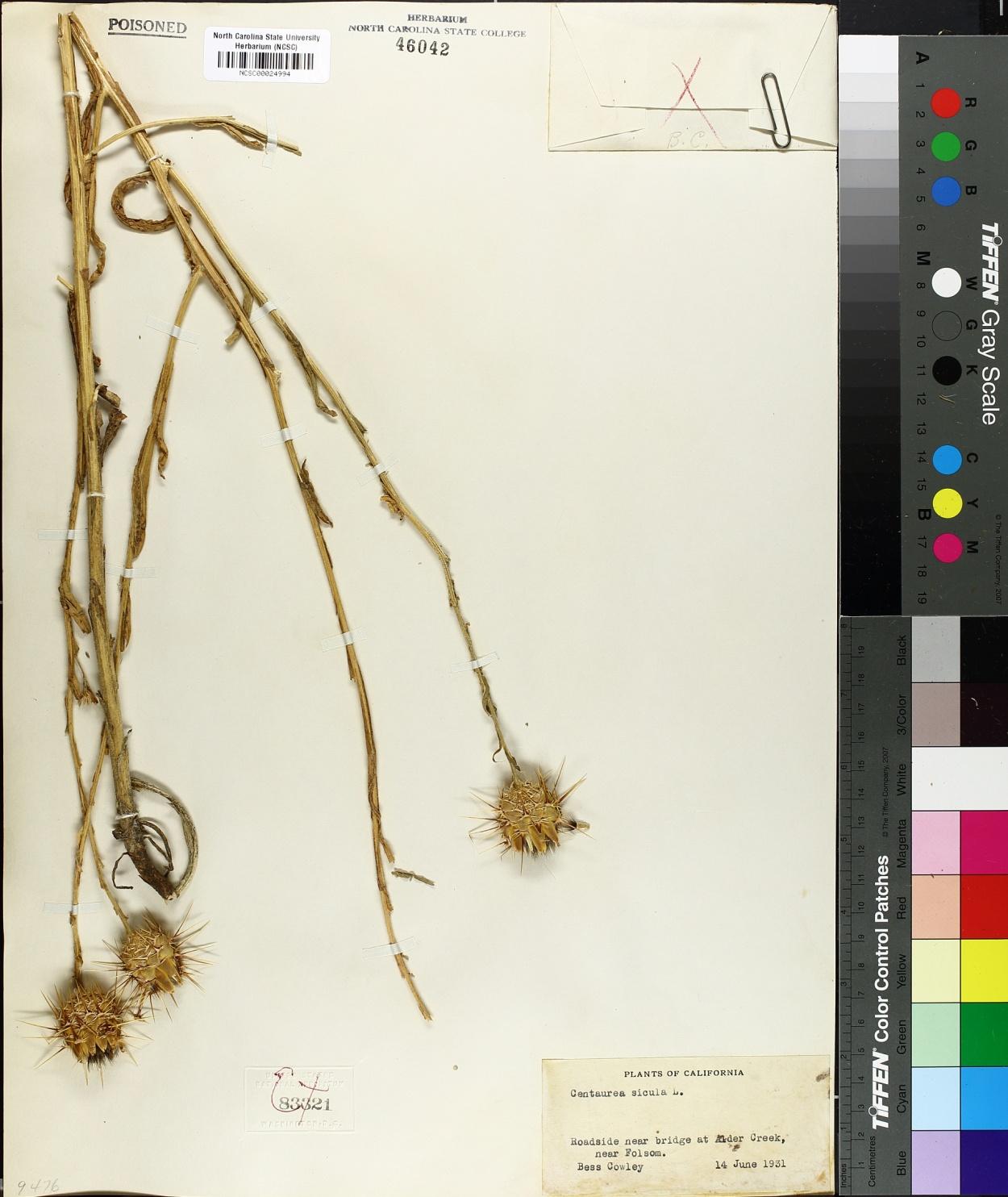 Centaurea sicula image