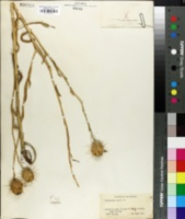 Image of Centaurea sicula