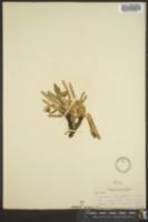 Image of Leontodon ammophilum