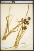 Scirpus georgianus image