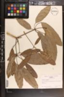 Image of Tabebuia argentea