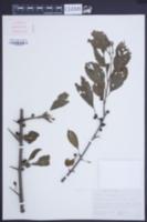 Image of Rhamnus brachypoda
